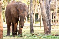 Den asiatiska elefanten kedjar på i zooen Fotografering för Bildbyråer
