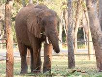 Den asiatiska elefanten kedjar på i zooen Royaltyfri Foto