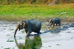 Den asiatiska eller asiatiska elefanten, Elephasmaximus Arkivbilder