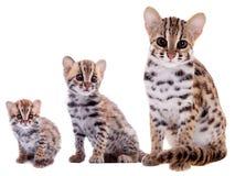 Den asiatiska leopardkatten på vit royaltyfri fotografi