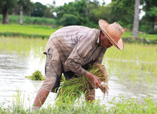 Den asiatiska manliga risbonden planterar ris i lantgården. Arkivbilder