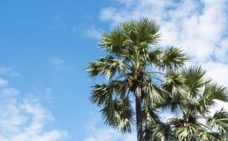 Den asiatiska palmyraen gömma i handflatan Arkivfoto