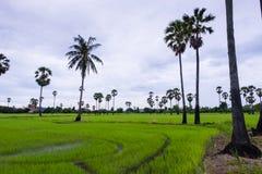Den asiatiska palmyraen gömma i handflatan med fältet för grönt gräs Arkivbilder