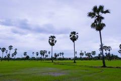 Den asiatiska palmyraen gömma i handflatan med fältet för grönt gräs Arkivfoto