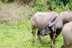 Den Asien buffeln på The Field Arkivfoto