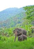Den Asien elefanten fostrar och behandla som ett barn i skog Royaltyfria Bilder