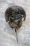 Den atlantiska hästskokrabban, Limuluspolyphemus, är en marin- che arkivfoto