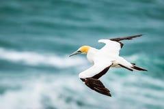 Den Australasian havssulan, Muriwai strand royaltyfria bilder