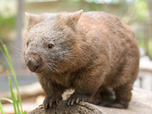 Den australiska gemensamma vombaten står på en journal Royaltyfri Foto