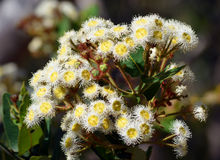 Den australiska gumtreen blommar (den Angophora hispidaen) Arkivbilder