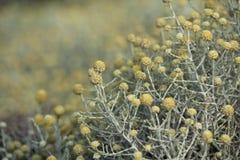 Den australiska infödingen blommar busken Arkivfoto