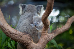 Den australiska koalan med henne behandla som ett barn eller känguruunge i eukalyptus eller eukalyptusträd royaltyfri bild