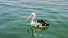 Den australiska pelikan, en stor waterbird av familjpelecanidaen simmar i havet fotografering för bildbyråer