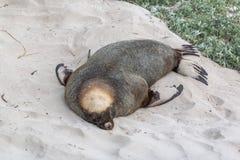 Den australiska sjölejonNeophoca cinareaen på skyddsremsafjärdbeskydd parkerar sovande fotografering för bildbyråer