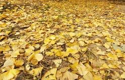 Den Autumn Ginkgo bilobaen lämnar på jordningen arkivfoton