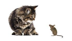 Den avrivna kattungeblandad-aveln katten som ner ser på en verklig mus, är Royaltyfri Fotografi