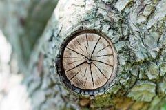 Den avverkade stubben av trädet - dela upp stammen med ettåriga växten Arkivbilder