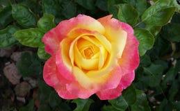 Den bästa bicolor rosen i trädgården royaltyfri fotografi