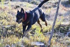 Den bästa Rottweileren Arkivfoto