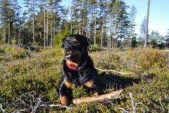 Den bästa Rottweileren Royaltyfria Foton
