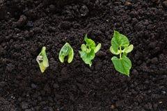 Den bästa sikten av bönan kärnar ur groende i jord Arkivbilder