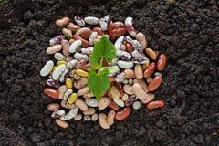 Den bästa sikten av bönan kärnar ur groende i jord med något frö Arkivbilder
