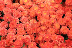 Den bästa sikten av den orange färgkrysantemumet blommar buketten för bakgrund Arkivbild