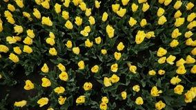 Den bästa sikten av gula tulpan som blommar på härligt, parkerar, många blommor stock video