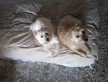 Den bästa sikten av två hundkapplöpning som vilar på sängen med massor av berlock och tvåna, ser upp arkivfoto
