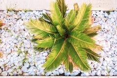Den bästa sikten till solbelyst ungt tropiskt gömma i handflatan bland små vita runda stenar arkivfoto