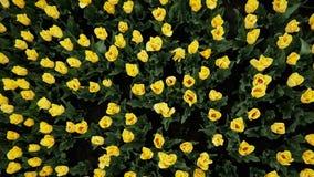 Den b?sta sikten av gula tulpan som blommar p? h?rligt, parkerar, m?nga blommor stock video
