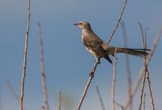 Den Bahama härmfågeln Royaltyfri Bild