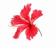 den bakgrund färgade skapade blomman har hibiskus som jag isolerade jag själv pencils röd white för bild Royaltyfri Fotografi
