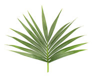 den bakgrund isolerade leafen gömma i handflatan white Closeup av en filial av kokospalmen Grön tropisk leaf Arkivbilder
