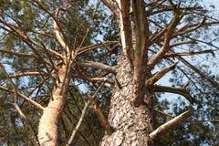 den bakgrundsbaikal laken sörjer treen royaltyfria foton