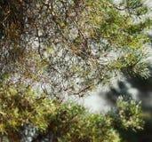 den bakgrundsbaikal laken sörjer treen Royaltyfri Bild