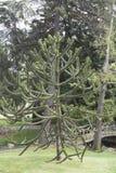 den bakgrundsbaikal laken sörjer treen Arkivbilder