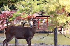 Den bakgrundsvatten och hösten för hjortar arbeta i trädgården stående på parkera i Nara, Japan Fotografering för Bildbyråer