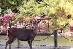 Den bakgrundsvatten och hösten för hjortar arbeta i trädgården stående på parkera i Nara, Japan Royaltyfria Bilder