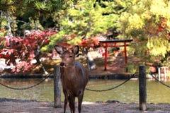 Den bakgrundsvatten och hösten för hjortar arbeta i trädgården stående på parkera i Nara, Japan Arkivfoton