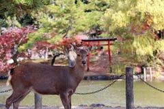 Den bakgrundsvatten och hösten för hjortar arbeta i trädgården stående på parkera i Nara, Japan Royaltyfria Foton