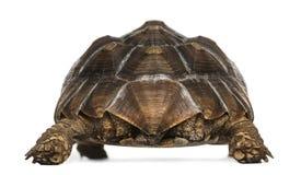 Den bakre sikten av en afrikan sporrade sköldpaddaanseende Fotografering för Bildbyråer
