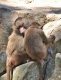 den bali familjen indonesia härmar zooen Fotografering för Bildbyråer