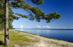 den baltiska strandskogen latvia nära sörjer Arkivbilder
