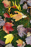 Den banansvampen och hösten lämnar Royaltyfria Foton