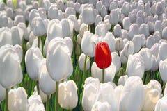 Den bara röda tulpan i ett fält av vit, begreppet är unik, specialt, sällsynt arkivbild