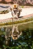 Den Barbary macaquen äter vid vattnet royaltyfri foto