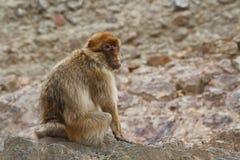 Den Barbary macaquen, den Barbary för ï¿ ½ apan, magot för orï¿ ½ på en bakgrund av vaggar Arkivfoto