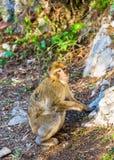 Den Barbary macaquen på upperen vaggar av Gibraltar Arkivfoton