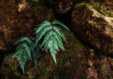 Den Barnsley ormbunken, gröna ormbunkesidor på mörk färg vaggar, ormbunken i na Royaltyfria Foton